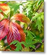 Red Viginia Creeper And Maple Leaves Metal Print