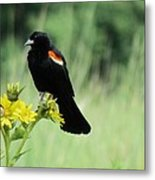 Red-winged Blackbird Metal Print
