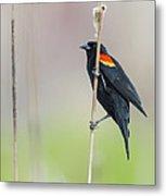 Red-winged Blackbird On Cattail Metal Print