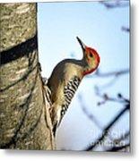 Redbelly Woodpecker Metal Print