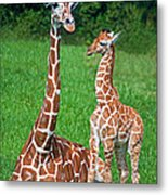 Reticulated Giraffe Calf With Mother Metal Print