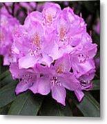 Rhododendron  ' Roseum Elegans ' Metal Print