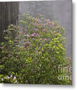 Rhododendron In Del Norte State Park, Ca Metal Print