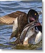 Ring Neck Duck Metal Print