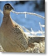 Ring Neck Hen Metal Print