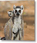 Ring-tailed Lemur And Baby Madagascar Metal Print