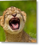 Roaring Practice Metal Print by Ashley Vincent