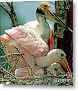 Roseate Spoonbill Adult With Young Metal Print