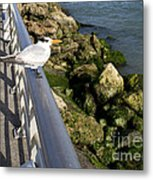 Royal Tern In Florida Metal Print