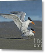 Royal Terns Metal Print
