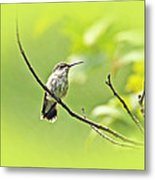 Ruby-throated Hummingbird - Immature Female - Archilochus Colubris  Metal Print
