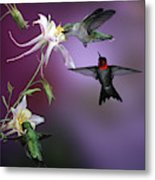 Ruby-throated Hummingbirds (archilochus Metal Print