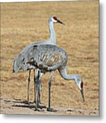Sand Hill Cranes Eating Metal Print