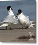 Sandwich Tern Bringing Fish To Its Mate Metal Print