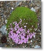 Saxifrage (saxifraga Oppositifolia) Metal Print