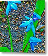 Scilla In New Maiden Cemetery In Moscow-russia  Metal Print