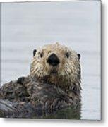 Sea Otter Alaska Metal Print