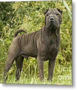 Shar Pei Dog Metal Print