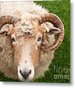 Sheep With Horns Metal Print