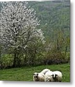 Sheeps Metal Print