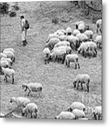 Shepherd With Sheep  Metal Print