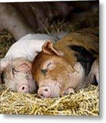 Sleeping Hogs  Metal Print