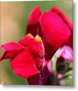 Snapdragon Named Red Chimes Metal Print