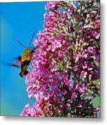 Snowberry Clearwing Hummingbird Moth Metal Print
