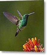 Snowy-bellied Hummingbird Metal Print by Heiko Koehrer-Wagner