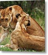 Sociable Lions   Metal Print
