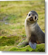 South Georgia Antarctic Fur Seal Metal Print
