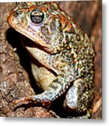 Southern Toad Bufo Terrestris Metal Print
