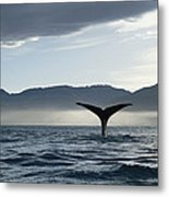 Sperm Whale Physeter Macrocephalus Metal Print