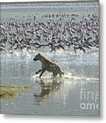 Spotted Hyaena Hunting For Food Metal Print