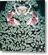 Spotted Porcelain Crab In Anemone Metal Print