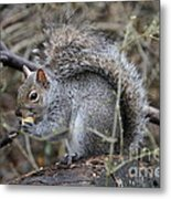 Squirrel With Peanut Metal Print