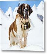 St. Bernard Dog Metal Print
