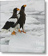 Stellers Sea Eagles Metal Print