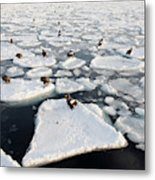 Steller's Sea Eagles On Sea Ice Metal Print