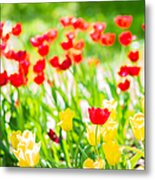 Sun Drenched Tulips - Featured 3 Metal Print