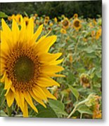 Sun Flower Fields Metal Print