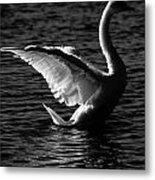 Swan Wingspan Metal Print
