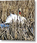 Swanly Metal Print