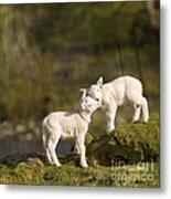 Sweet Little Lambs Metal Print