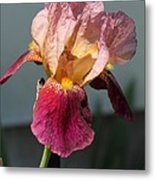 Tall Bearded Iris Named Indian Chief Metal Print