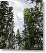 Tall Spruce Trees Metal Print