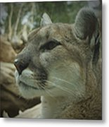 The Cougar 3 Metal Print by Ernie Echols