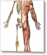 The Human Skeleton And Muscular System Metal Print