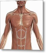 The Muscles Of The Torso Metal Print