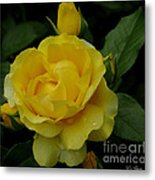 Yellow  Rose Of Summer Metal Print